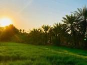 الرز الحساوي الأغلى عالمياً ..  يساهم في علاج آلام المفاصل و الكسور